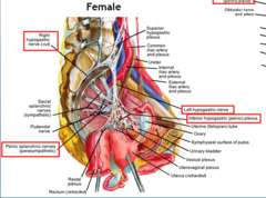 Pelvic nerves and rectum with labels