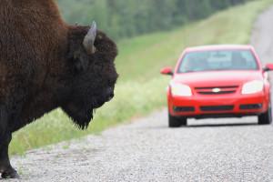 Buffalo Slow Down